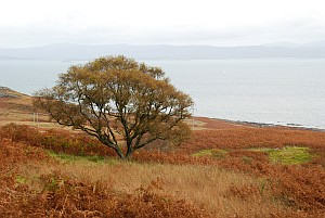 A Lonely Tree on the Isle of Jura