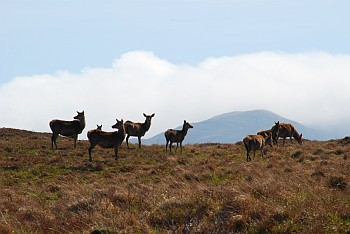 Red Deer on the Isle of Jura