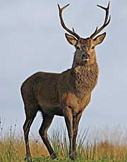 Red Deer in front of Paps