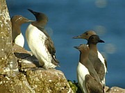 Common Guillemots