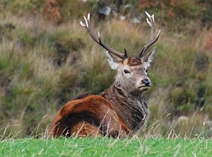 Red Deer Stag on Jura