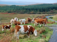 group-cows-south-jura