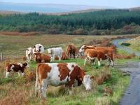 group-cows-south-jura