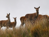 hinds on hill