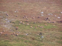 huge-group-of-red-deer