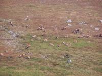 huge-group-of-red-deer