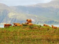 jura-highland-cattle1200x806