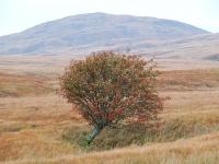 lone-rowan-tree