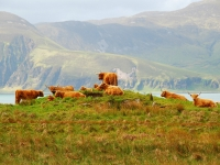 jura-highland-cattle1200x806