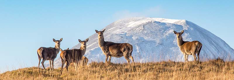 Red Deer Hindes in front of the Paps of Jura